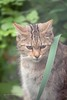 Wilde kat 3 (norbert93) Tags: anholt wildekat anholterschweiz