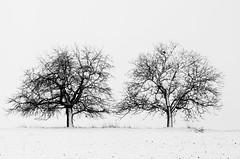 DSC_7353 (dbroglin) Tags: trees winter snow hiver arbres neige minimalism arbre