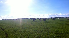Brown Swiss on March Grazing (J. Nisly) Tags: spring cattle cows pasture kansas grazing 2012 brownswiss dairycattle