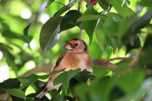 Female European Goldfinch - Caniço, Madeira, Portugal
