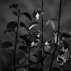 Last Light On Last Leaves (AnyMotion) Tags: blackandwhite bw plants sun tree nature leaves square bokeh frankfurt natur pflanzen sw bltter baum greengag