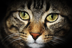 Chat2 (ebeez photo) Tags: portrait chien animal chat zoom chatte chaton