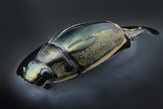 Whirligig beetle 3x
