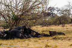 Lions feeding on a dead elephant (ericvaandering) Tags: africanelephant afrotheria animals carnivores cats lion mammals northwest botswana