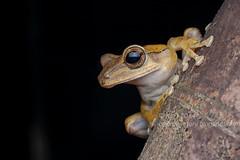 Polypedates leucomystax IMG_5664 copy (Kurt (OrionHerpAdventure.com)) Tags: amphibian frog treefrog amphibia polypedatesleucomystax fourlinedtreefrog