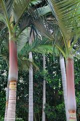 Archontophoenix purpurea - Mount Lewis King Palm, Purple Alexandra Palm, Mt Annan Botanic Gardens, Campbletown, NSW (Black Diamond Images) Tags: palms palmtree nsw trunk arecaceae archontophoenix arfp mtannanbotanicgardens australianrainforestplants australianpalms archontophoenixpurpurea mountlewiskingpalm qrfp purplealexandrapalm tropicalarf vinearf mabgcarfp