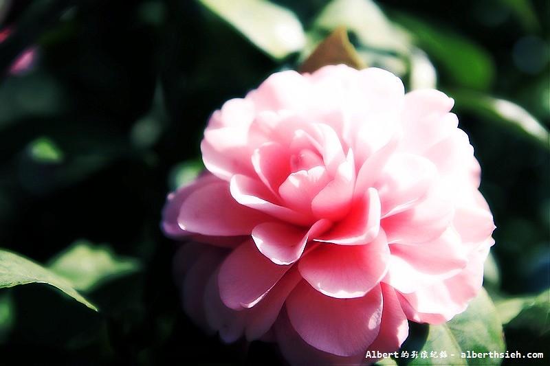 【茶花】桃園大溪.和平茶花園