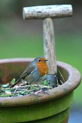 robin birds wildlife jacob spinks