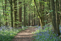Bluebells in Badby Wood. 'Explored' (Paul (Barniegoog)) Tags: bluebells badby badbywoods