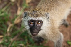 VeveretMonkey-LakeManyara-15-20Dat200mm (Dan Bachmann) Tags: africa travel wild 20d canon tanzania place wildlife safari lakemanyara 2014 200mm danbachmann
