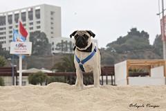 (Angela Paz) Tags: cute canon pug playa perro explore perros explored