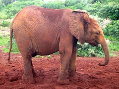African Elephant (twosheffs) Tags: elephant cute kenya nairobi orphan playful babyelephant nairobinationalpark orphanelephant sheldrickelephantorphanage