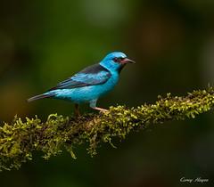 Blue-Dacnis (Corey Hayes) Tags: blue wild bird nature birds canon costarica eyecontact wildlife ngc birding centralamerica wildnature 500mmf4is coreyhayes 1dmkiv vision:sky=0515 vision:plant=0638