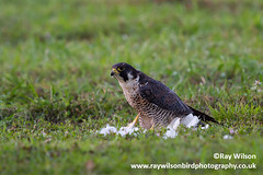 2014-03-03_MG_9716_Peregrine (Ray Wilson Bird Photography) Tags: bird female kill eating belize c raptor falcon prey birdofprey peregrine cattleegret peregrinefalcon bubulcusibis falcoperegrinus falconidae