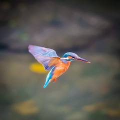 Preparing for the Dive (Silver Canvas Photography) Tags: bird japan kingfisher 2014 okinawaprefecture