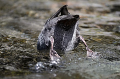 Whio (Blue duck) Release, Manganui river, Egmont National Park, NZ - 13/3/14 (Grumpy Eye) Tags: blue march duck stream release rapids endangered doc 13 2014 yorkrd blueduck egmontnationalpark whio nikkor300mm28 status:iucn=endangered nikond7000 taxonomy:binomial=hymenolaimusmalacorhynchos taxonomy:common=blueduck taxonomy:common=whio