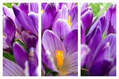 Crocuses in Triplicate (H McCann) Tags: park flowers field spring bc purple blossom meadow crocus victoria vancouverisland bloom summitpark garryoak yyj uploaded:by=flickrmobile flickriosapp:filter=nofilter