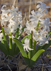 White Hyacinth (kevin33040) Tags: white plant flower color nature fauna flora nikon blossom tennessee bloom nikkor hyacinth 18200mm d7000