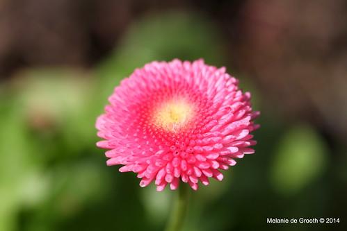 Pink Daisy Flower 3