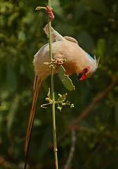 Highwire Mooseburd! (Rainbirder) Tags: kenya samburu bluenapedmousebird urocoliusmacrourus rainbirder