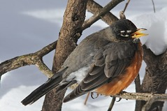 2014 American Robin In Snow 13 (DrLensCap) Tags: snow chicago bird robert robin point illinois il american montrose kramer sanctuary in