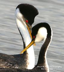 BEAR RIVER BIRD PRESERVE, UTAH (Aspenbreeze) Tags: lake bird water wildlife grebe courtship westerngrebe wildbird aspenbreeze moonandbackphotography bevzuerlein makingritual