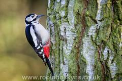 Great Spotted Woodpecker ([[BIOSPHERE]]) Tags: uk bird nature garden wildlife greatspottedwoodpecker
