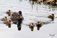 Baby Ducks and Mom (gwhiteway) Tags: baby white lake canada reflection cute bird nature animal yellow newfoundland studio duck pond soft beak duckling young adorable stjohns nobody domestic nl copyspace anas isolated kents platyrhynchos