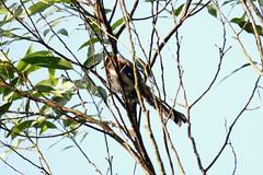 樹鵲 Photo