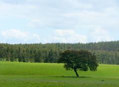 Muitos e uma (Américo Meira) Tags: portugal alentejo eucaliptos azinheira
