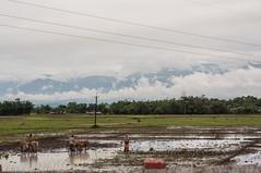 Assam_019 (SaurabhChatterjee) Tags: assam countryside guwahati httpsiaphotographyin india lakhimpur rural saurabhchatterjee siaphotography tea teagardens tezpur village