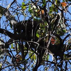 Myiagra rubecula (Diana Padrón) Tags: victoria australia bird birds nature naturaleza outdoors belleza bello beautiful relax tatong leaden flycatcher myiagra rubecula nest