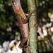 Sinharaja - Otocryptis wiegmanni Lizard