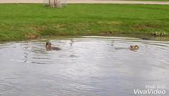Jessie and Juno. (Sharon B Mott) Tags: capybara animals playing swimming yorkshirewildlifepark march