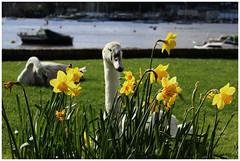 (tom-steele) Tags: swan swans cygnet cygnets nature river spring daffodils flowers