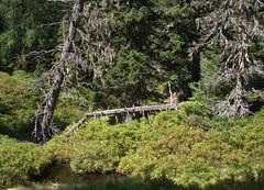 09-IMG_8378 (hemingwayfoto) Tags: österreich austria baum europa fichte flechte hochmoor hohetauern landschaft moorauge nationalpark natur naturschutzgebiet rauris rauriserurwald reise tannenbaum totholz urwald wald