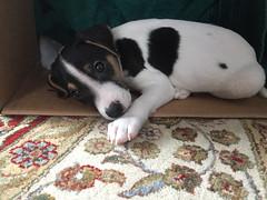 Dooley in a Box (marylea) Tags: dooley parsonrussellterrier 2017 iphone parsonrussell dog puppy mar5 jackrussellterrier jackrussell terrier