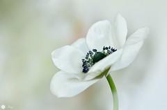 Beautiful  thoughts (Trayc99) Tags: anemone flower white delicate beautyinnature beautyinmacro beautiful bokeh softbackground macro