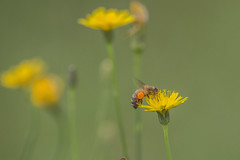 Bee (S♡C) Tags: outdoor insect bee flower dandelion field green