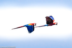 Scarlet macaw (Manuel ROMARIS) Tags: costarica scarletmacaw cararanationalpark tarcoles puntarenasprovince cr