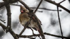 cardinal (david_sharo) Tags: nature cardinal bird desaturated southpark