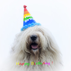 "It's someone's birthday today :) ""explore"" (dewollewei) Tags: old oldenglishsheepdog oldenglishsheepdogs oldenglishsheepsdog english sheepdog dewollewei sophieandsarah sophieensarah oes bobtail dogs dog happy happybirthday birthday verjaardag gefeliciteerd hat geburtstag explore explored sarah 50mm canon7dmark2 canon party"