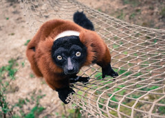 Red-Ruffed lemur (littlestschnauzer) Tags: lemur redruffed red ruffed prosimian sheffield fluffy cute adorable climbing net agile madagascar native 2017 march tourist attraction yorkshire visit tropical butterfly house wildlife animals nature nikon d7200 looking eyes face russet fur
