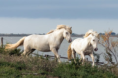 2016 Best Two Camargue Stallions (22) (maskirovka77) Tags: saintlaurentdaigouze languedocroussillonmidipyrén france languedocroussillonmidipyrénées fr stallion stallions createaway