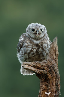 Little Owl - Owlet 2015