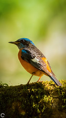 Blue-capped rock thrush (raveclix) Tags: raveclix india canon sigma canon5dmarkiii sigma150500mmf563apodgoshsm nandihills nandi bangalore bengaluru karnataka bird birds bluecappedrockthrush monticolacinclorhynchus