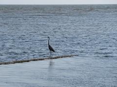 Gray egret on a Lake Pontchartrain seawall (Monceau) Tags: lakepontchartrain lakefront gray egret seawall smooth choppy water