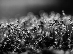 Moss Spore Capsules (brenkee) Tags: moss spore pod capsule cambo largeformat papernegative 9x12 forte blackandwhite filmisnotdead film analog buyfilmnotmegapixels bokeh bokehlicious bokehporn bubbles