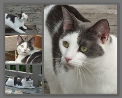 Cara (Castilleja19) Tags: rescue pet cats cat shelter bicolor