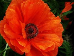 poppies 017 (cellocarrots) Tags: poppies